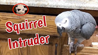 "Parrot evicts ""squirrel"" from kitchen drawer"
