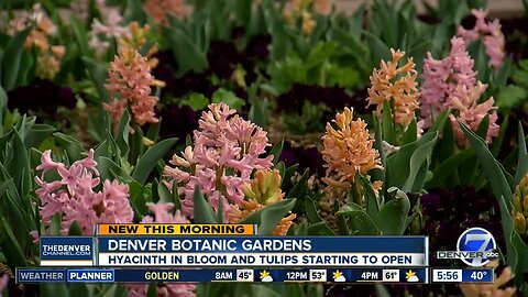 Spring blubs starting to bloom at Denver Botanic Gardens