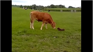 Lana The Puppy Can't Contain Her Excitement When She Meets A Cow For The Very First Time  - Video