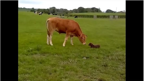 Lana The Puppy Can't Contain Her Excitement When She Meets A Cow For The Very First Time