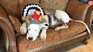 Great Dane with Turkey Referee Hat is Ready for Thanksgiving Football  - Video