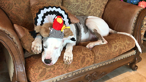 Great Dane with Turkey Referee Hat is Ready for Thanksgiving Football