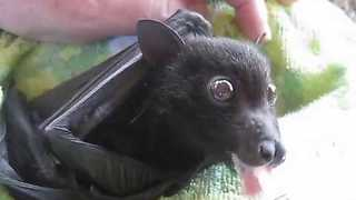 Orphaned Flying Fox Enjoys a Fruit Smoothie - Video