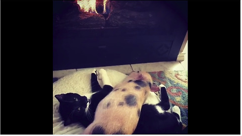 Piggy And Cat Are Having The Most Adorable Nap Together