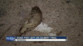 Dead fish scattered on Gilbert Trail in Menasha - Video