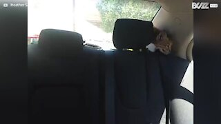 Baby bobcat explores car interior after being rescued