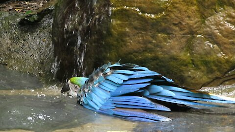 Rescued macaw loves taking bath in a waterfall