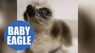 First moments in the life of an eagle chick - Video