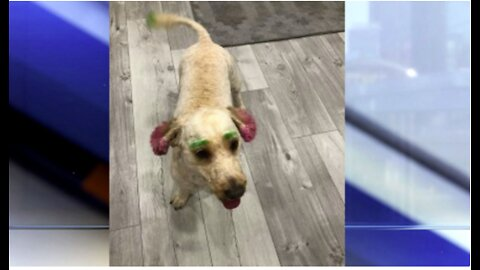 Lake Worth Beach woman's dog dyed green and pink in bizarre grooming debacle