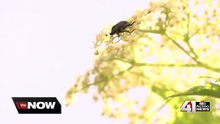 Japanese beetles wreaking havoc in KC metro - Video