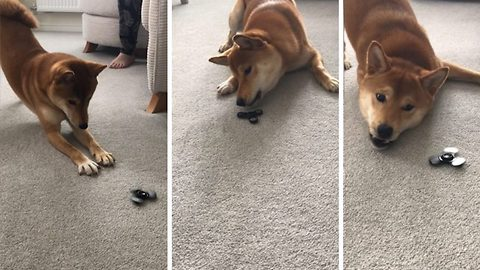 Feisty dog has the funniest way of expressing her dislike for fidget spinners