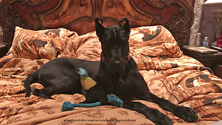 Great Dane totally decimates bed, acts totally innocent - Video