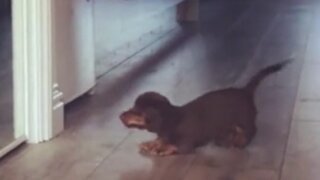 Dachshund Puppy's First Mirror Encounter Is Everything You'd Expect!