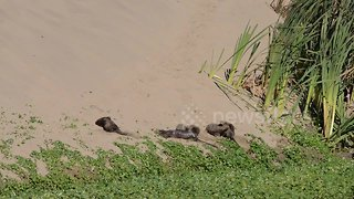 Playful family of river otters take a sand bath