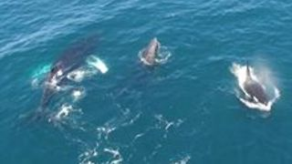 Humpback Whales Interfere as Killer Whales Feed on a Gray Whale Calf - Video