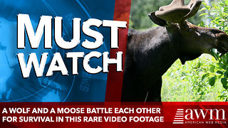A Wolf And A Moose Battle Each Other For Survival In This Rare Video Footage - Video