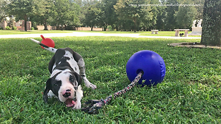 Playful 8 week old Great Dane Puppy Loves Jolly Balls  - Video