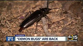 Palo Verde Beetles are back, just in time to mate - Video