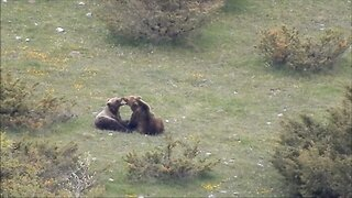 Besotted Pair Of Super Rare Wild Bears Caught Cuddling In Extraordinary Video