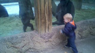 Little Boy Plays Peek A Boo With Baby Gorilla