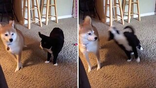 Cat Performs 'Trust Fall' With Dog And It Doesn't End Well