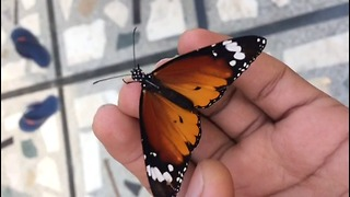 Beautiful Butterfly needs love & not afraid of humans