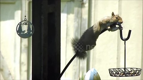 Pesky squirrel tries its best to hang onto slippery bird feeder pole