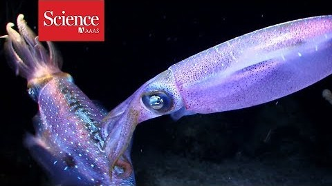 The secret to a squid's crystal clear underwater vision