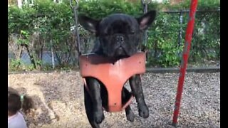 This French bulldog hates swinging