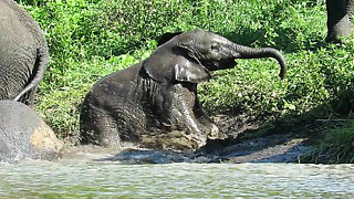 Check Out Baby Elephant's Adorable Attempts To Get Out Of River - Video