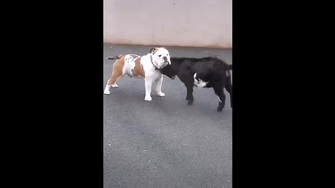 Incompetent goatling tries to murder confused dog ...