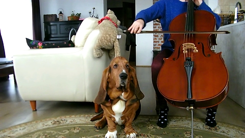 Musically Talented Basset Hound Accompanies Owner's Cello Practice