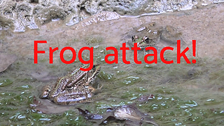 Frog Attack!  - Video