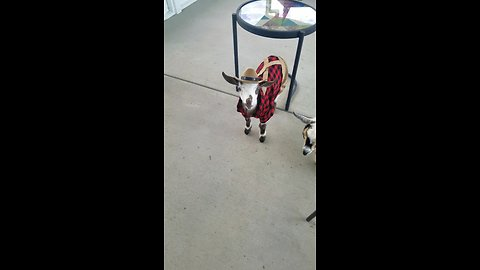 Baby goat shows off his adorable outfit