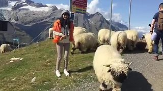 Woman Wants To Pet The Sheep But They Keep Running Away - Video