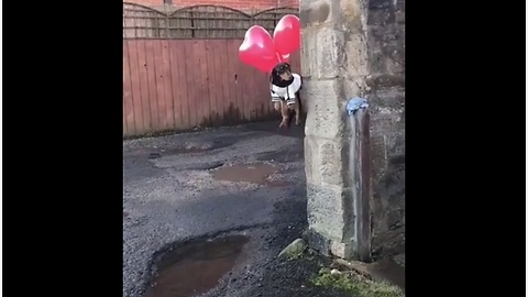 A dog tied to balloons goes up, up and away!