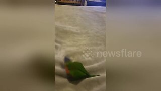 Pet bird plays fetch like a dog with paper ball in Australian home