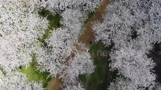 Drone captures a sea of China cherry blossoms - Video