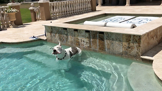 Max the Great Dane enjoys a dip in the pool