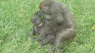 Gorilla brothers engage in heartwarming playtime