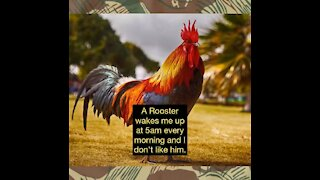 A Rooster Wakes Me Up and I Don't Like Him