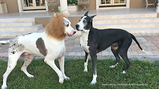 Funny Halloween Great Dane Plays with Lion Dane Brother - Video