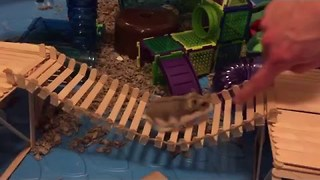 Happy Hamster Plays Follow the Leader - Video