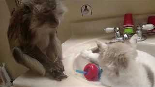 Pet Monkey Enjoys Grooming Cat - Video