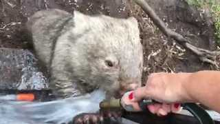Wombat Enjoys a Refreshing Drink of Water From the Hose