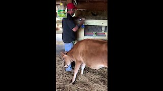 Overly-attached cow determined to get attention from caretaker