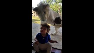 Lion attempts to attack a clueless boy through glass