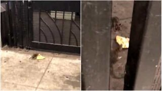 Rats fight over a slice of pizza