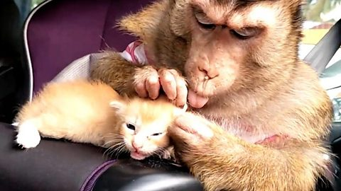 Watch how this adorable monkey cares for its feline best friend
