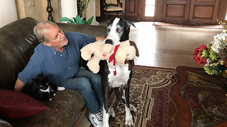 Proud Great Dane Shows Off Her Toy to Dad and the Cat  - Video